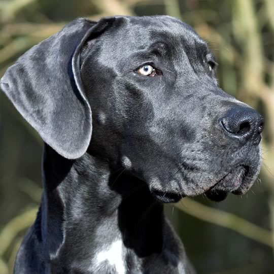 great_dane_crop